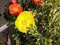 Fleur orange et jaune.jpg