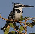 Flickr - Rainbirder - Pied Kingfisher (Ceryle rudis) female.jpg