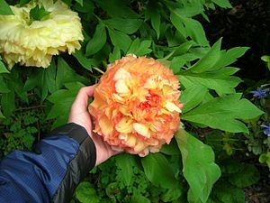 Tree peony - Tree peony hybrid 'Maxime Cornu' of the ''P.'' × ''lemoinei'' group, is a hybrid between subsection Delavayana (P. delavayi) and subsection Vaginatae (P. suffruticosa 'La Ville de Saint-Denis').