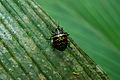 Flickr - ggallice - Escarabajo.jpg