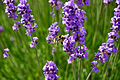 Flickr - ronsaunders47 - BEE AND LAVENDER..jpg