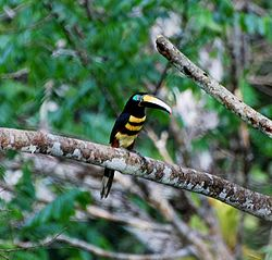 Flickr Many banded aracari.jpg