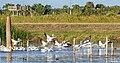 Flock of white pelican (31511553363).jpg