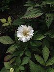 Flor blanca.jpg