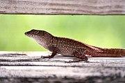 Florida lizard 1500px.jpg