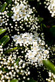 Flower, Name unknown... - Flickr - nekonomania (1).jpg