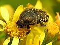Flower Chafer (15341403773).jpg