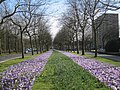 Flowering Crocus in Amsterdam 1.jpg