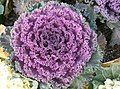 Flowering cabbage5.jpg