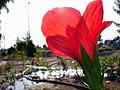 Flowers of Iran by qom city 08.jpg