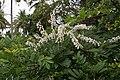 Flowers of Kerala03918.jpg