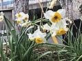 Flowers of Narcissus tazetta 20190117.jpg