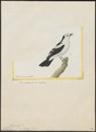Fluvicola pica - 1700-1880 - Print - Iconographia Zoologica - Special Collections University of Amsterdam - UBA01 IZ16500223.tif