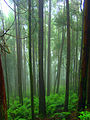 Foggy-woods-trunks.jpg