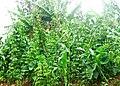 Food garden Kigali 01.JPG