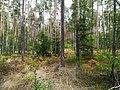 Forest near Bąblin (3).jpg