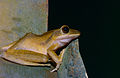 Four-lined Tree Frog (Polypedates leucomystax) on the water tank (14648929543).jpg