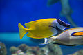 Foxface rabbitfish (16473345699).jpg