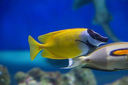 Foxface rabbitfish Siganus vulpinus