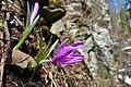 Frühlingslichtblume - Colchicum bulbocodium.JPG