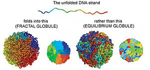 Erez Lieberman Aiden - The fractal globule model (left) of three-dimensional genome structure suggested by Lieberman Aiden and coworkers contrasted with an equilibrium model (right)