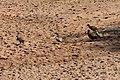 Francolin, Ruaha National Park (2) (28707993696).jpg