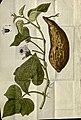 Franz Joseph Märter Sweet potato 1797.jpg