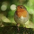 Friendly Robin (45022443364).jpg