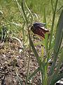 Fritillaria nigra 008.JPG
