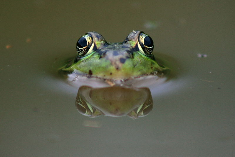 File:Frog eyes.JPG