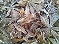 Frosty leaves oct2008.jpg