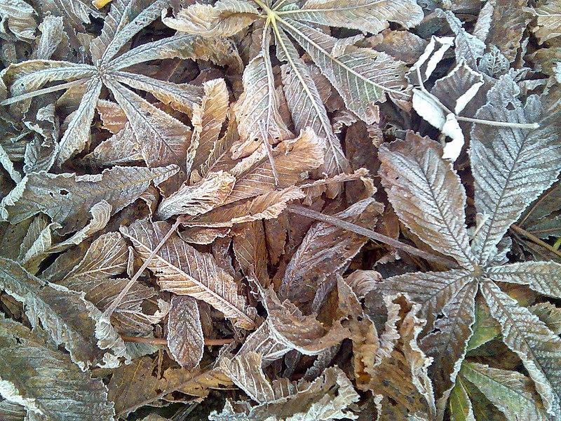 File:Frosty leaves oct2008.jpg