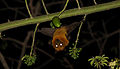 Fruit bat split 1.jpg