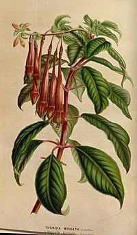 Fuchsia miniata
