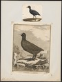 Fulica atra - 1700-1880 - Print - Iconographia Zoologica - Special Collections University of Amsterdam - UBA01 IZ17500243.tif