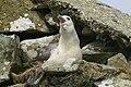 Fulmar (Fulmarus glacialis) - geograph.org.uk - 940190.jpg