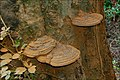 Fungus, Huntly, Banbridge (1) - geograph.org.uk - 554671.jpg