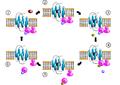 GPCR-Zyklus.png