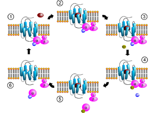 G protein - Activation cycle of a G-protein (purple) by a G-protein-coupled receptor (light blue) receiving a ligand (red).