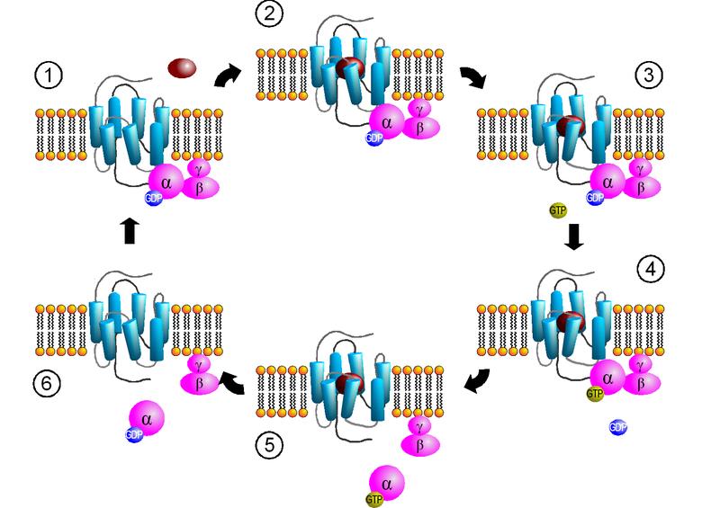 File:GPCR-Zyklus.png