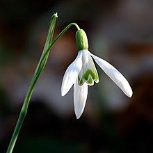 Flor de campanilla blanca (Galanthus)