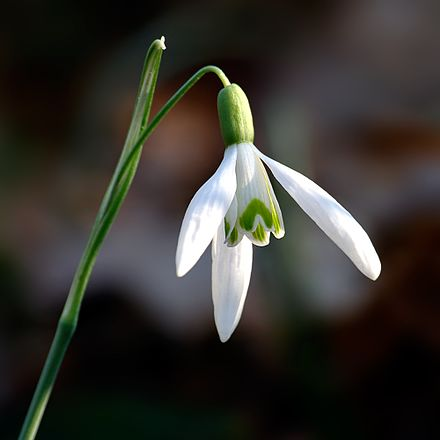 Snowdrop (Galanthus) flower Galanthus nivalis close-up aka.jpg