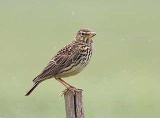 Large-billed lark species of bird