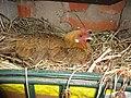 Gallina en su nido.JPG