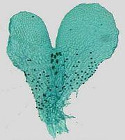 ormbunksväxter representativa arter