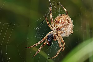 Spider web - Garden Orbweaver with beetle prey caught in its web