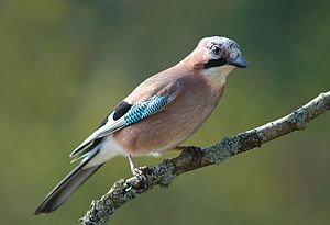 Jay - Eurasian jay, the original 'jay' after which all others are named