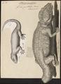 Gecko guttatus - 1700-1880 - Print - Iconographia Zoologica - Special Collections University of Amsterdam - UBA01 IZ12300113.tif