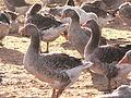 Geese in Tursac, France - 3.jpg