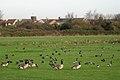 Geese on Oak Meadow golf course, Starcross - geograph.org.uk - 1623151.jpg